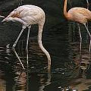 A Flamingo With Its Head Under Water In The Jurong Bird Park Poster