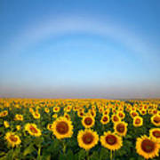 A Fog Bow Over The Colorado Sunflower Fields Poster