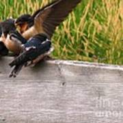 A Fourth Baby Barn Swallow Wants In On Lunch Poster
