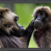 A Gentle Caress   Gelada Baboons Poster