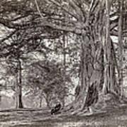 A Gentleman Sitting Beneath A Large Native Tree In British Ceylon Poster