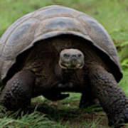 A Giant Tortoise Walks Along The Rim Poster