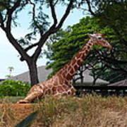 A Giraffe Rests In Honolulu Poster