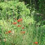 A Glimpse Of Poppies Poster