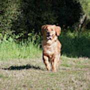 A Golden Retriever Running Poster