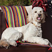 A Goldendoodle Lying On A Garden Bench Poster