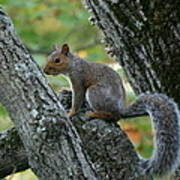 A Gray Squirrel Pose  Poster