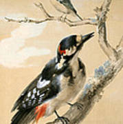 A Great Spotted Woodpecked And Another Small Bird Poster