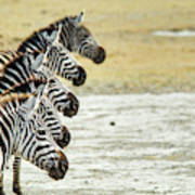 A Grevys Zebra In Ngorongoro Crater Poster