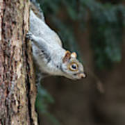 A Grey Squirrel Making It S Way Poster