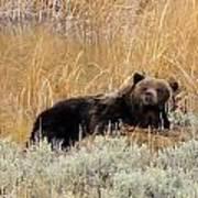 A Grizzily On A Buffalo Carcass Poster