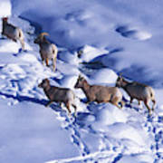 A Group Of Bighorn Sheep Ovis Poster