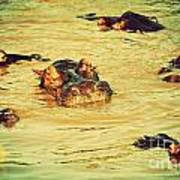 A Group Of Hippos In A River. Tanzania Poster
