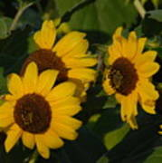 A Group Of Sunflowers Poster