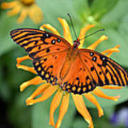 A Gulf Fritillary Butterfly On A Yellow Daisy Poster