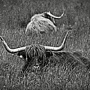A Highland Cattle In The Scottish Highlands Poster