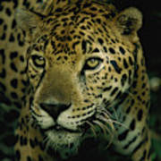 A Jaguar On The Prowl Poster by Steve Winter
