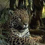 A Jaguar's Gaze Poster