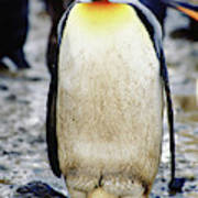 A King Penguin Holds Its Egg Poster