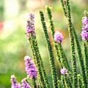 A Lavender Garden Poster