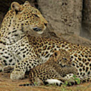A Leopard Cub With Her Mother Poster