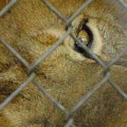 A Lions Eye Poster