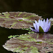 A Little Lavendar Water Lily Poster