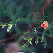 A Little Peach Flower Bud Poster