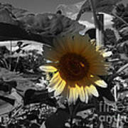 A Lone Sunflower In The Shade Poster