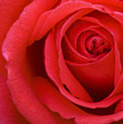 A Lovely Red Rose Poster