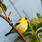 A Male American Goldfinch  Carduelis Poster
