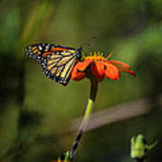 A Monarch Butterfly 1 Poster