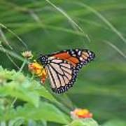 A Monarch Butterfly At Rest Poster