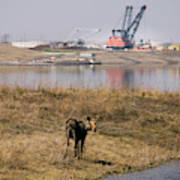 A Moose Walks On The On Reclaimed Land Poster