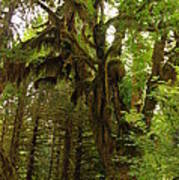 A Moss Covered Tree  In The Ho National Rain Forest Poster