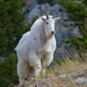 A Mountain Goat Stands On A Grassy Poster
