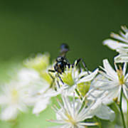 A Nectar Drink For This Black Mud Dauber   Poster