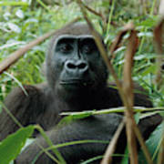 A Once Captive Gorilla Is Now Poster