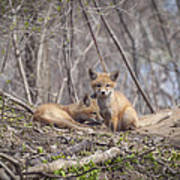 A Pair Of Cute Kit Foxes 2 Poster