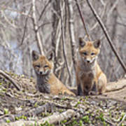 A Pair Of Cute Kit Foxes 3 Poster