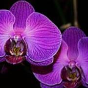 A Pair Of Purple Orchids From Bermuda Poster