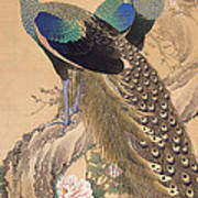 A Pair Of Peacocks In Spring Poster