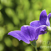 A Pair Of Purple Balloon Flowers Poster