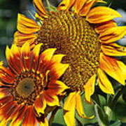 A Pair Of Sunflowers No.1 Poster