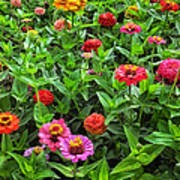 A Pair Of Yellow Zinnias 04 Poster