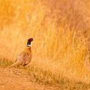 A Pheasant  Poster