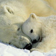 A Polar Bear And Her Cub Napping Poster