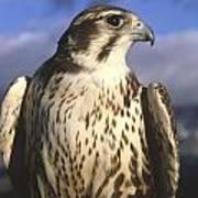 A Prairie Falcon At Dusk Poster