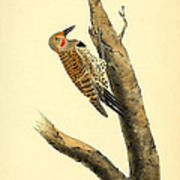 A Red Moustached Woodpecker Poster by Philip Ralley