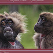 A Reflective Moment    Gelada Baboons Poster